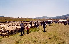 The Sheep Fair at Campo Imperatore